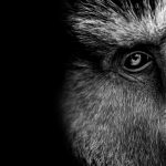 Opice sú mentálne flexibilnejšie než ľudia, ukazuje najnovšia štúdia.